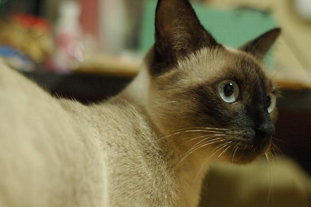 振り向くシャム猫