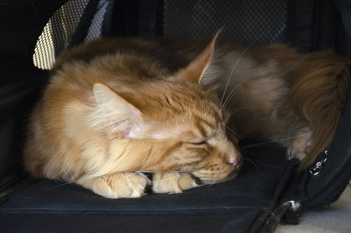 キャリーバッグの中の不機嫌な猫
