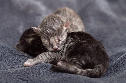生まれたばかりの子猫