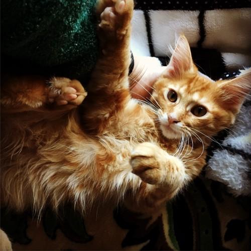 オレンジ色の子猫