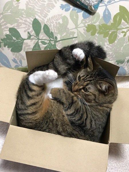 箱にすっぽり入る猫