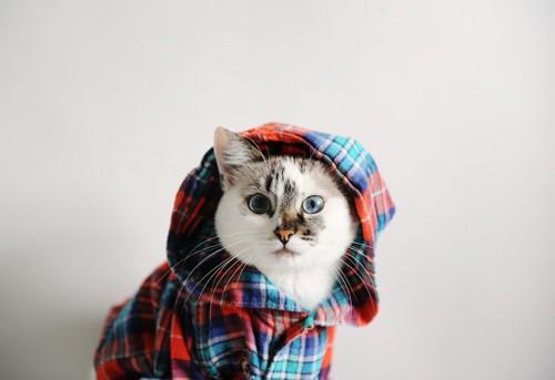 フードのついた服を着てこちらを見る猫