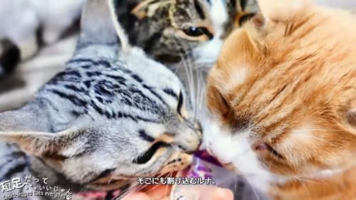 茶白猫と縞模様の猫