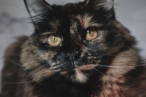 長毛のサビ猫の顔アップ