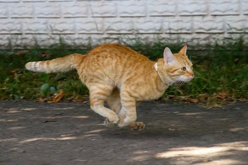 走る茶トラ猫