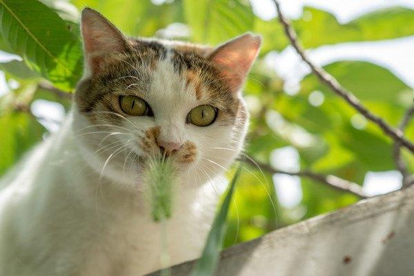 外で猫じゃらしを食べる猫