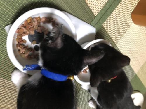 ご飯を食べる子猫たち