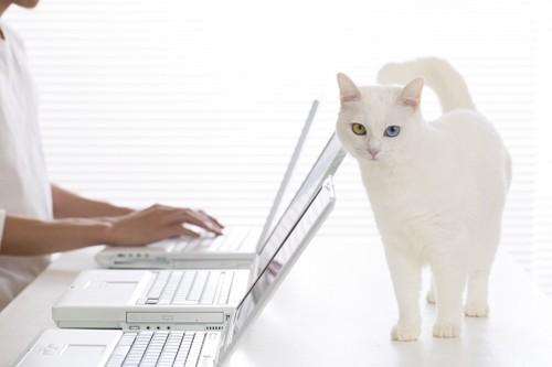 パソコンと白い猫
