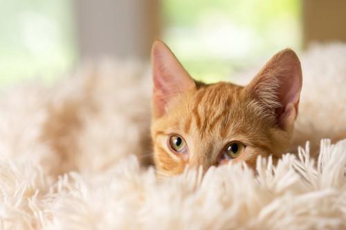 フワフワな絨毯から顔を出す猫