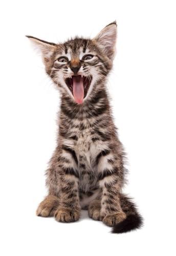 大あくびする子猫