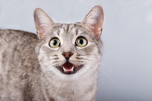 口を開けてこちらを見つめる猫