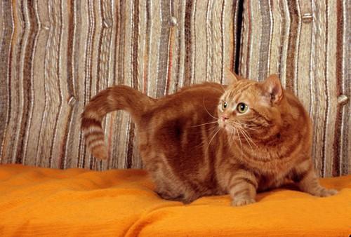 ソファの上で身構えて後ろを見る猫