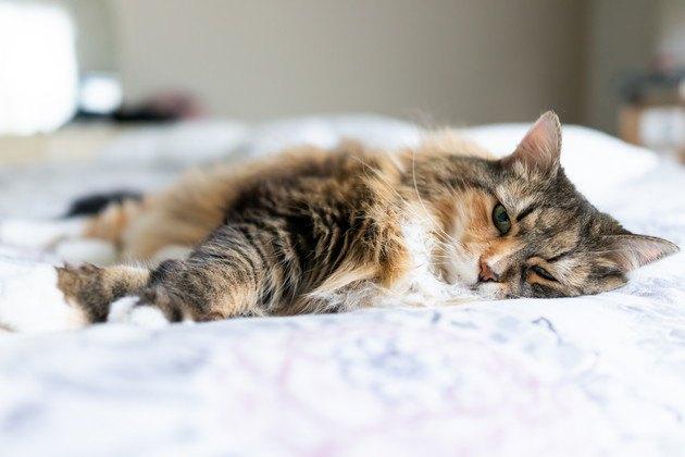 好酸球性肉芽腫で具合の悪い猫