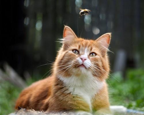 飛んでいる蜂を見ている猫