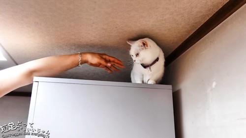 白猫と人の手