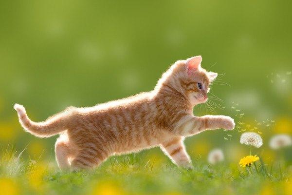 タンポポで遊ぶ子猫