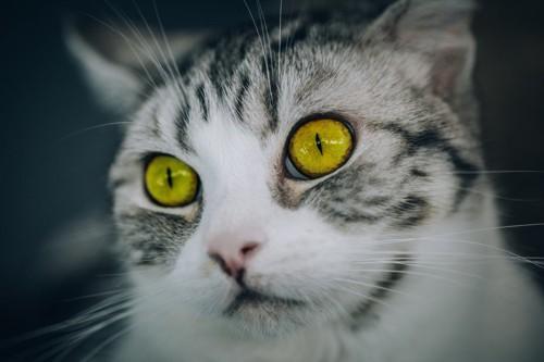 アンバー色の瞳の猫
