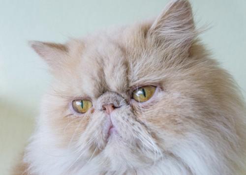 ペルシャ猫のアップ