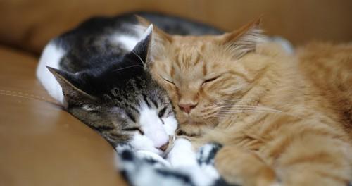 キジトラ白を枕に寝る茶トラ