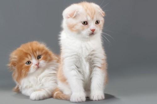 長毛と短毛のスコティッシュフォールドの子猫