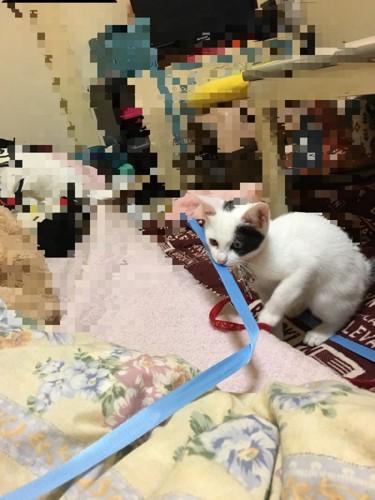 紐くわえる猫