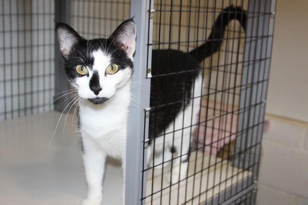 ケージに入る黒白猫