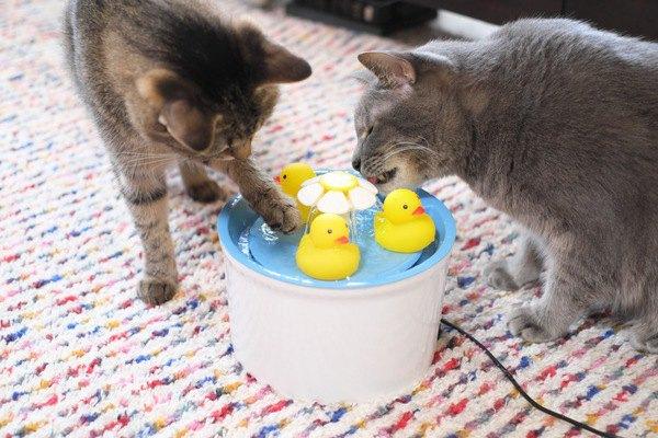 ひよこと遊びながら水を飲む猫たち