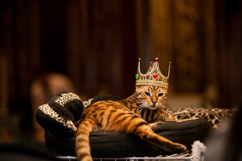 王冠を被って猫用ベッドで寛ぐ猫