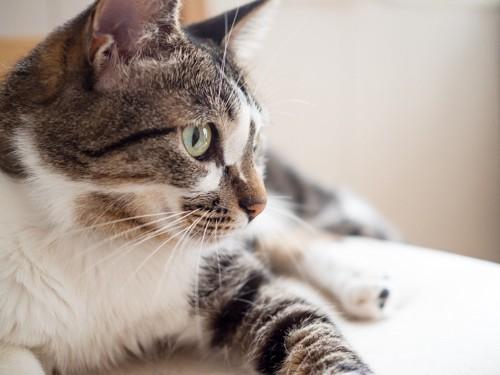 寝そべって一点を見つめる猫