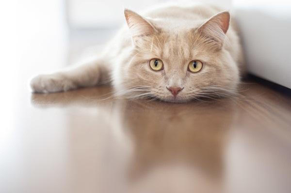 床に伏せて悲しい猫