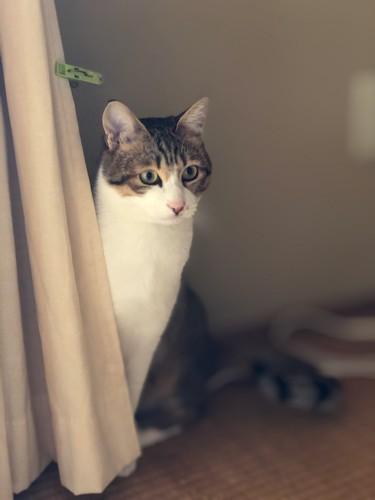 猫がカーテンから半分体を出しついる写真