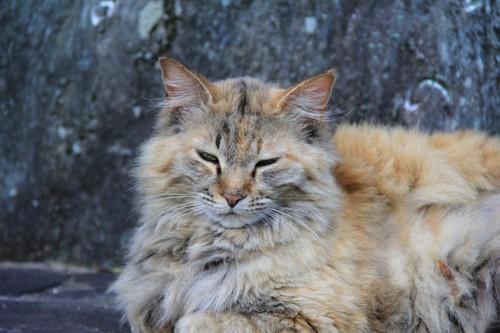 長毛の野良猫