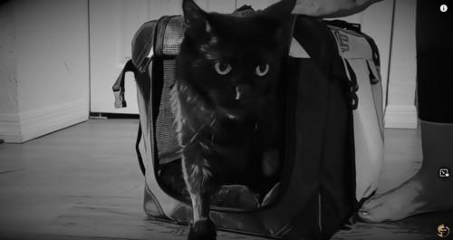 キャリーから出る黒猫