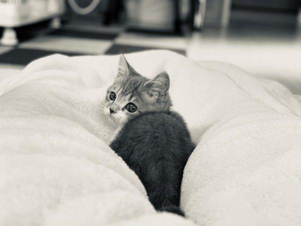 振り返るスコティッシュフォールドの子猫