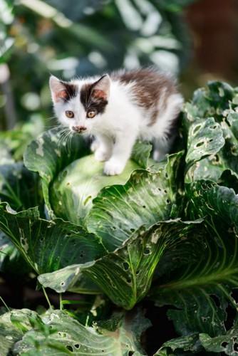 キャベツに乗る子猫