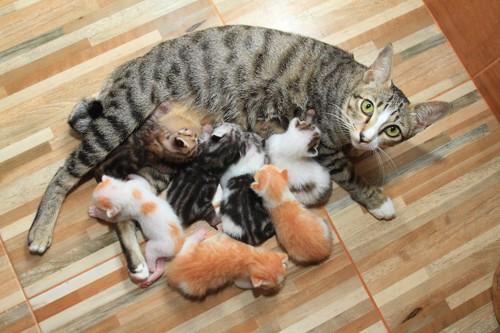 たくさんの子猫たちに授乳する母猫