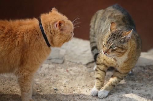 威嚇しあう猫たち