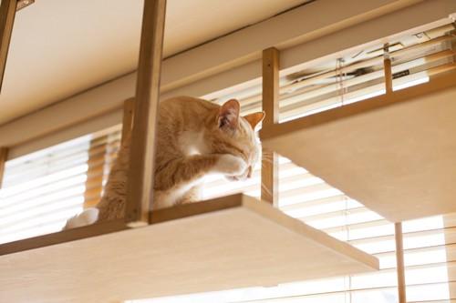 キャットウォークでグルーミング中の猫