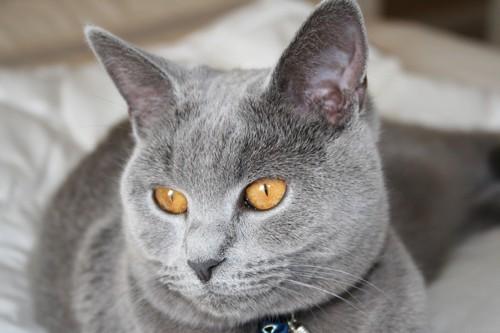 黄色い目のシャルトリュー