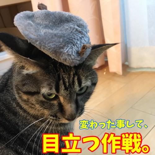 目立ちたい猫