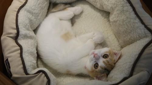 猫用ベッドでくつろぐ猫