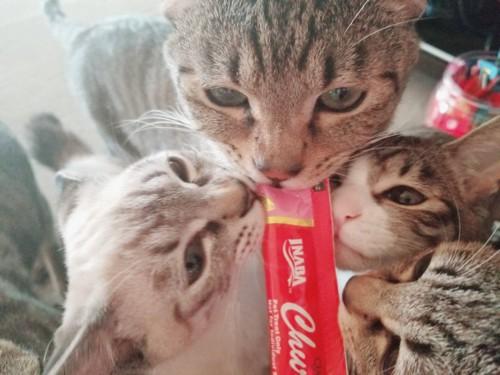 ちゅーるを食べる猫たち