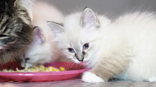 離乳食を食べる子猫たち