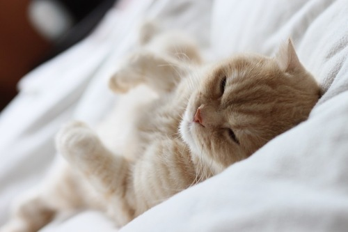 ベッドで仰向けで眠る猫