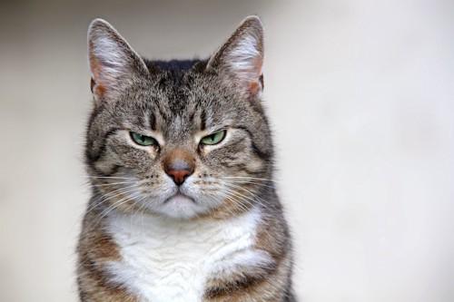 不満そうな表情で見つめる猫