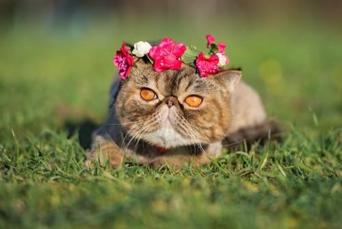 頭に花かんむりを乗せたエキゾチックショートヘア