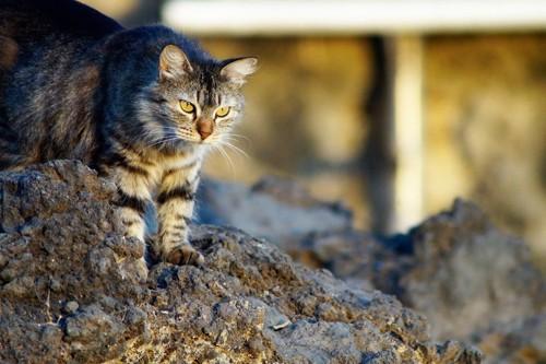 岩の上から偉そうに睨みをきかせる猫