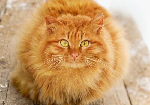 前を見つめる毛が長くて丸い茶色いたてがみのある猫