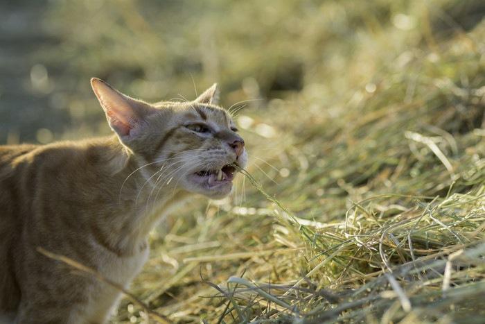 苦しそうに口をあける猫