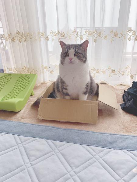 ダンボールより大きい猫